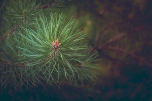 pine-463469_1280-1024×682